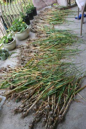 Long-stretch-of-garlic