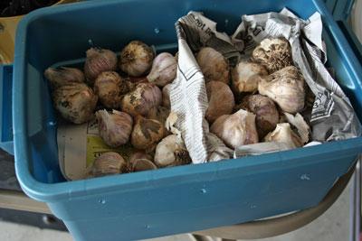 Dry-garlic-in-storage-box